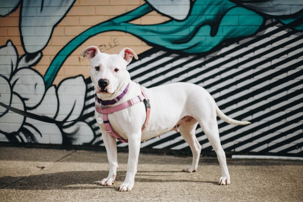 Penelope, a dog with Detroit Dog Rescue, stands in front of the 0uzi and Michelle Tanguay mural in Eastern Market. Photo Stephanie Hume.