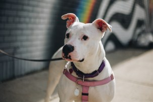 Penelope, a dog with Detroit Dog Rescue, stands in front of the Felipe Pantone mural in Eastern Market. Photo Stephanie Hume.