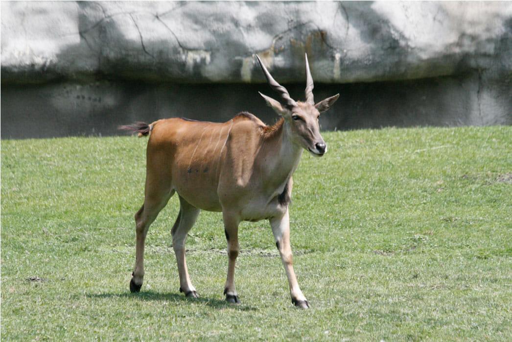 Eland  Detroit Zoo
