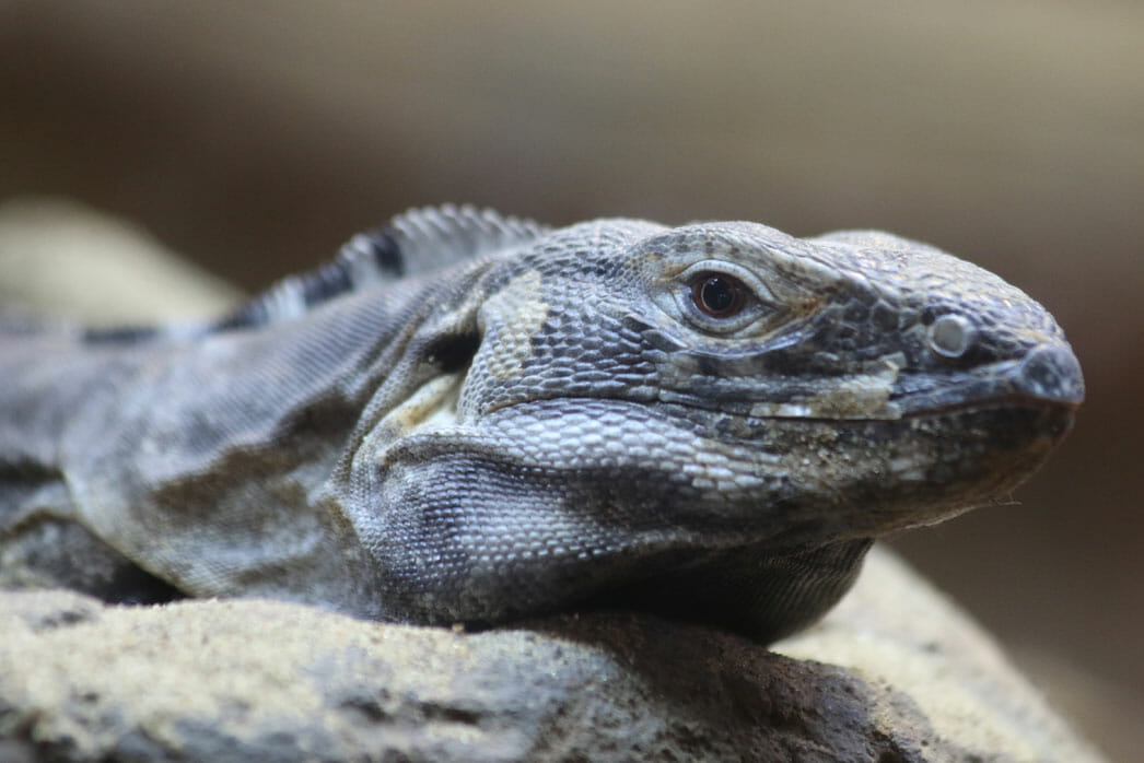 Sonoran black iguana  Detroit Zoo