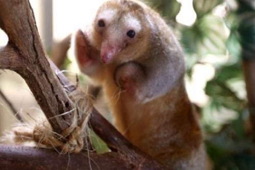 peru-unico-pais-del-mundo-tiene-hormigueros-pigmeos-cautivos