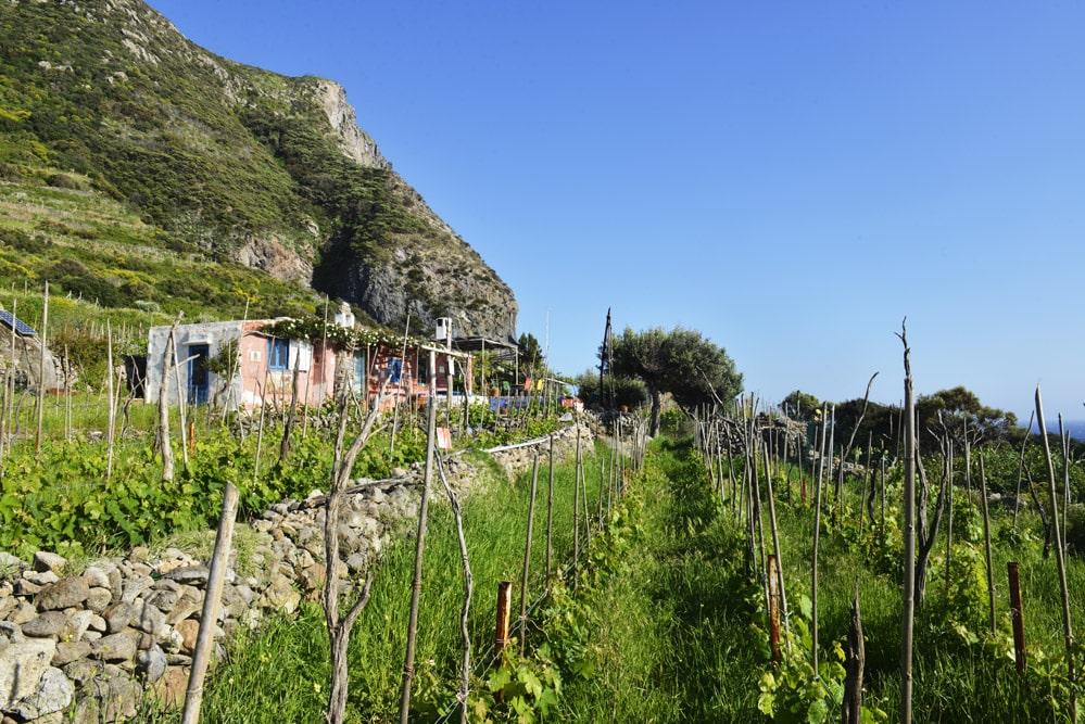 Ponza, vingård