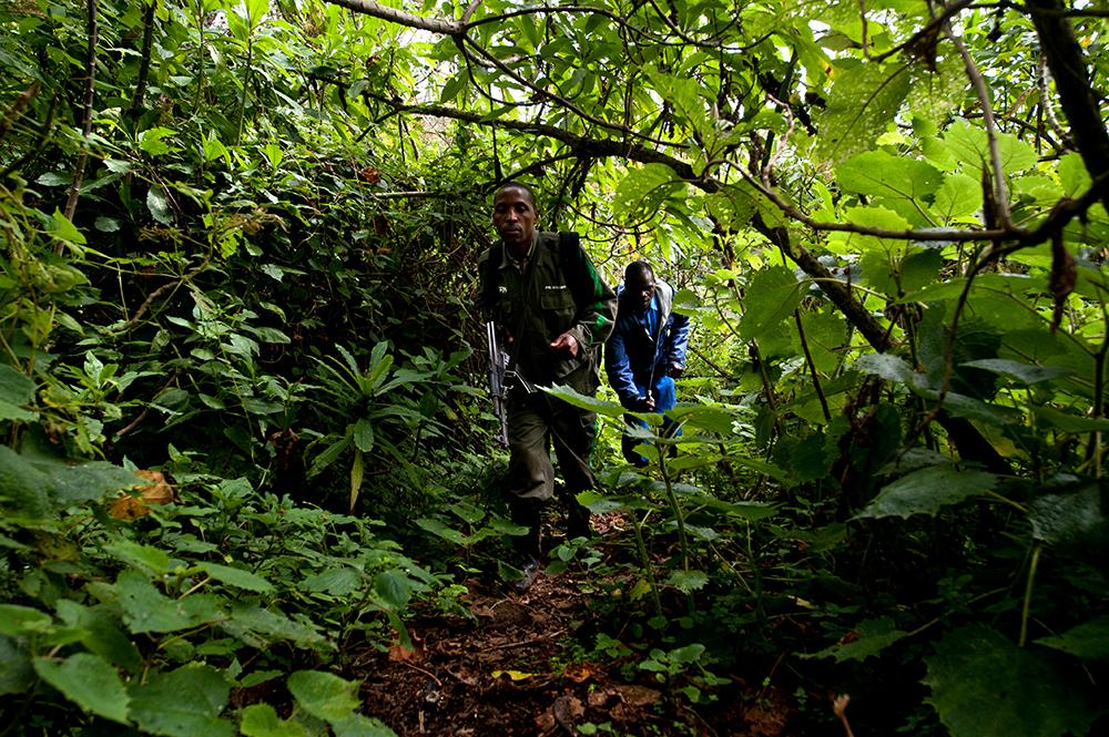 Gorillasafari, jungel, Rwanda, parkvokter, nasjonalpark