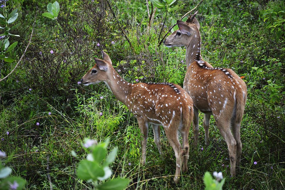 Aksishjort, Sri Lanka, hjortedyr, pattedyr