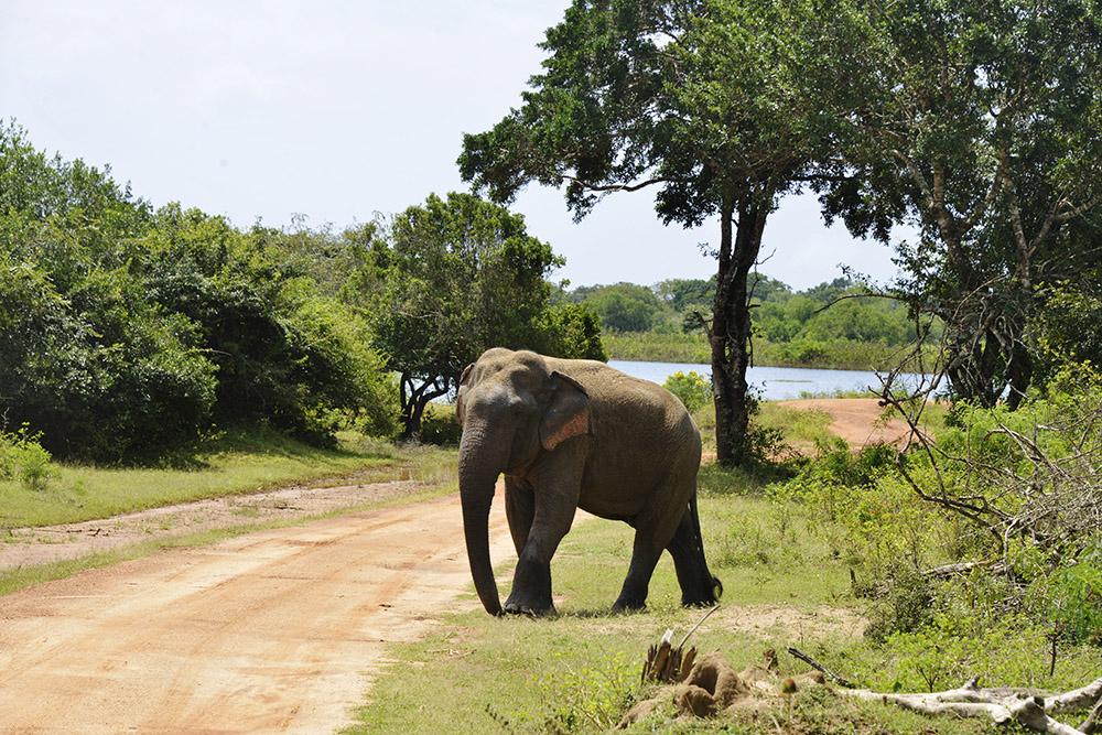 Asiatisk elefant Sri Lanka safari Yala National Park