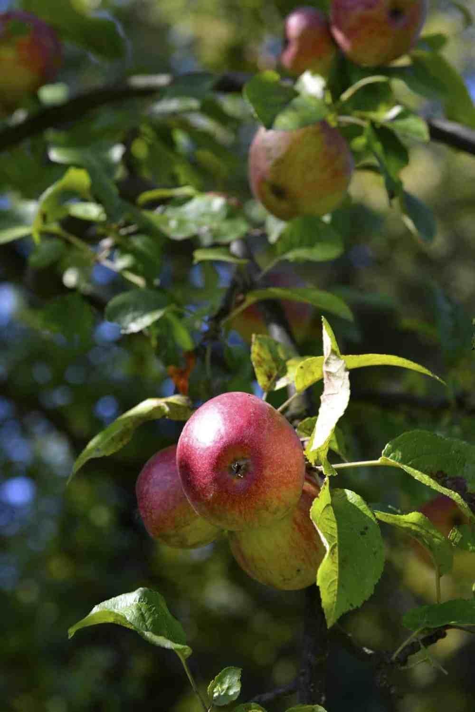 Epler til calvados