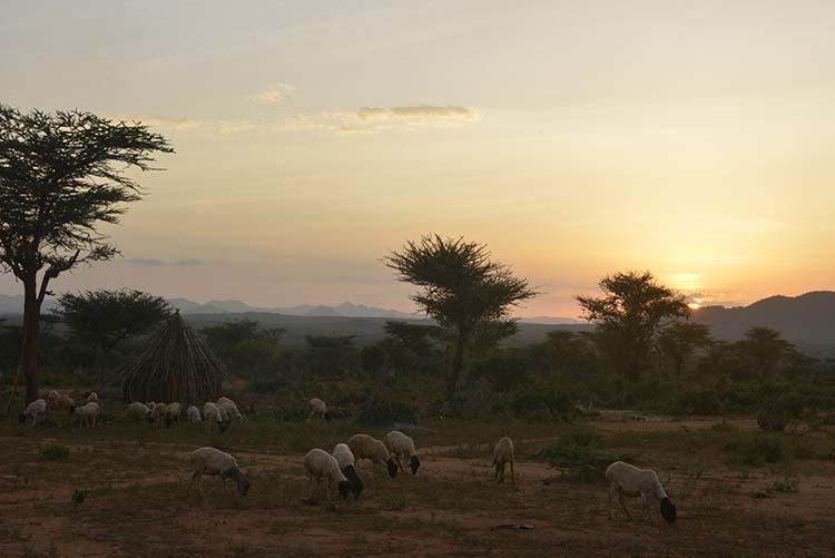 Geiter i soloppgang i Sør-Etiopia