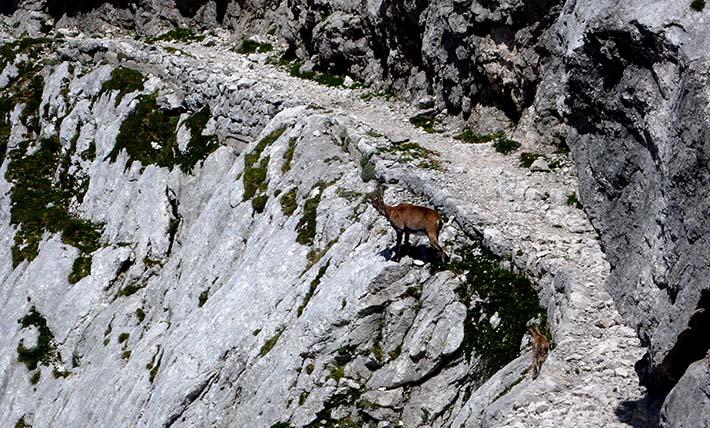 gemse i de juliske alper i Slovenia