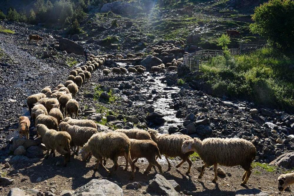 Saueflokk i fjellene i Albania