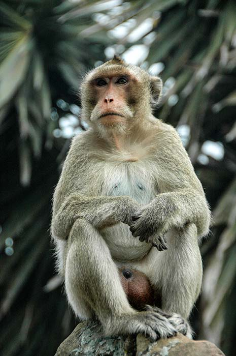 Ape utenfor Angkor Wat
