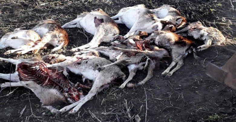 قطيع ذئاب يهاجم مزرعة و يرتكب مجزرة في هذه المدينة