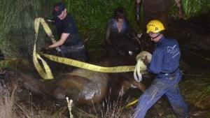 ألمانيا : فرق إطفاء و خبير إنقاذ يتدخلون لانتشال حصان ضخم عالق في الوحل