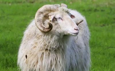 ألمانيا : مجهولون يسرقون خروفاً .. و الشرطة تحذرهم من أكل لحمه لهذا السبب !