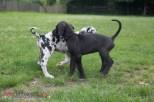 Deutsche Dogge Welpen mit 8 Wochen