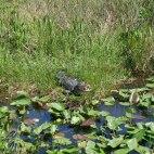 Everglades - Alligator