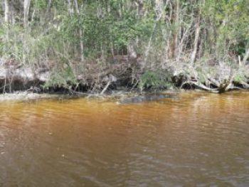 Everglades - Crocodile