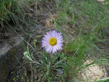 Fleurs de Yellowstone