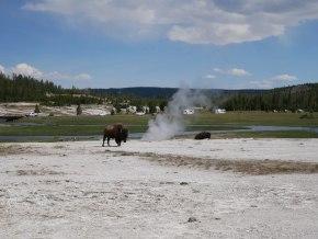 Upper geyser basin fumerolles et bisons