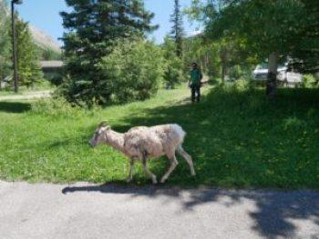 Mouflonne aux Sources Miette à Jasper
