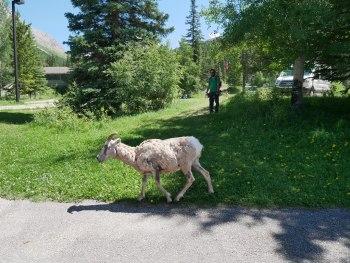 Mouflonne aux Sources Miette