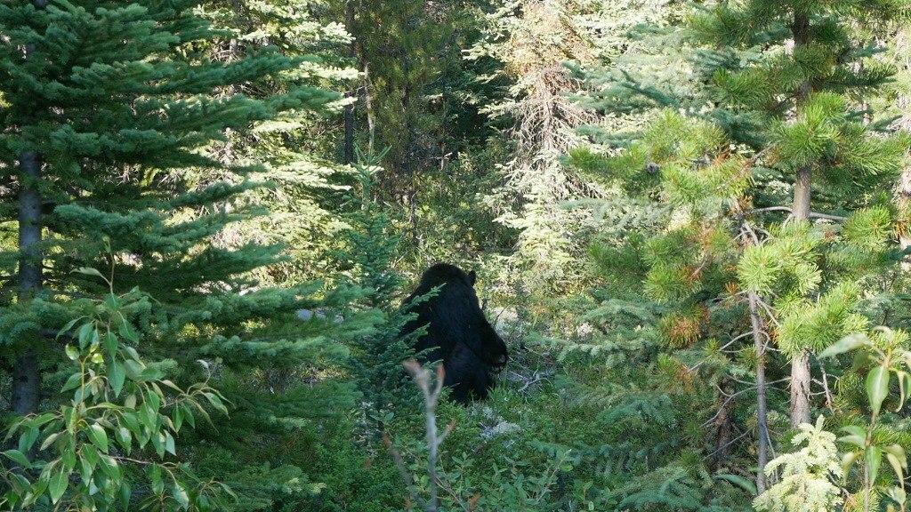 Ours noir des chuttes d'Athabasca à Jasper