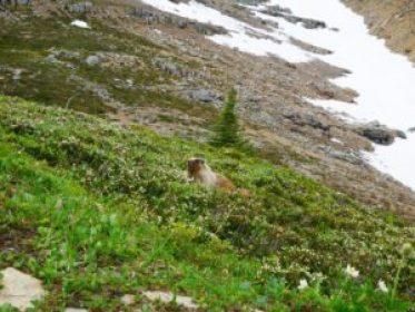 Une marmotte au calme !