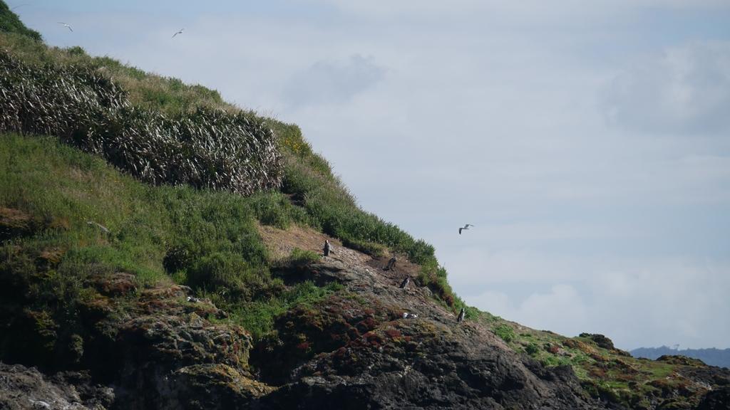 Île et pingouins sur Chiloe
