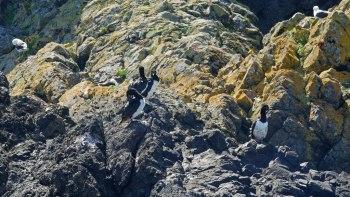 Cormorans sur Chiloe