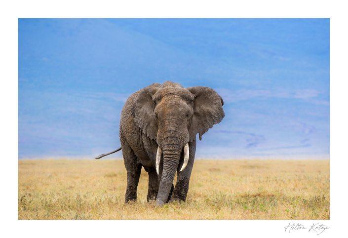 Ngorongoro Blue Bull