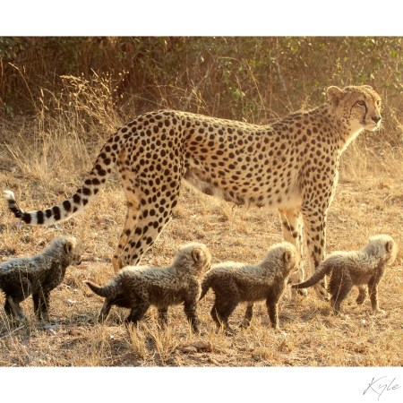 A Cheetah mom with her cubs.