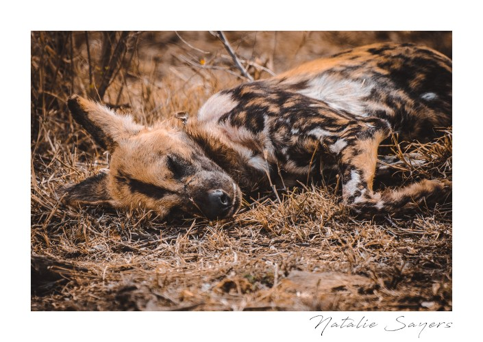 Wild dog having an afternoon nap