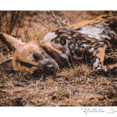 Wild dog having an afternoon nap