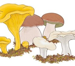 Mushroom Boletus edulis Vector