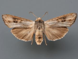Digitalisieren von Sammlungen Insekten, Exemplar von Xylema exsoleta, Graue Moderholzeule