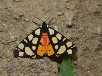 Schmetterlings-Expedition in den Iran, Schwarzer Bär (Arctia villica), CC BY-NC-SA 4.0 Martin Albrecht
