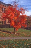 Acer triflorum Habit fall