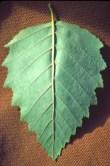 Betula nigra leaf bottom