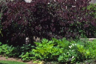 Cercis-canadensis Forest Pansy habit