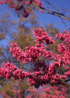 Cercis chinensis flowers