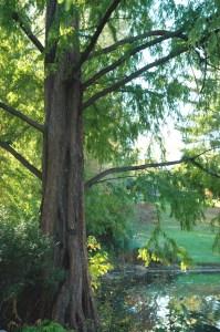 dawn-redwood
