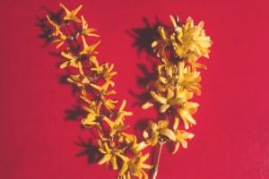 Forsythia 'Lynwood' (L) 'Spring Glory' (R) fl