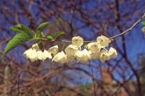 Halesia tetraptera flowers