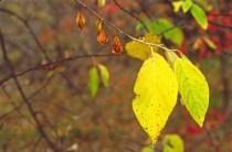 Halesia tetraptera fruit lvs