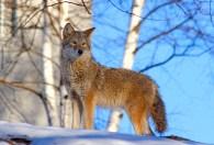 Coyote by John Harrison.