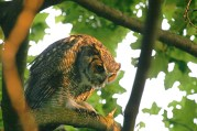 Great Horned Owl by Kim Nagy