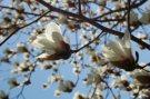 Mount Auburn Magnolia