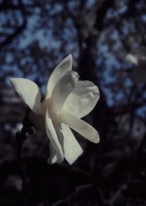 Magnolia denudata