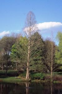metasequoia-glyptostroboides-winter-habit
