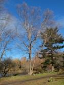 entire tree Betula (4)