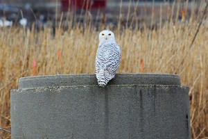 Snowy Owl at Wheelabrator